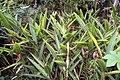Heliconia psittacorum 29zz.jpg