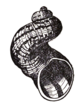 Helix aspersa scalarid.png