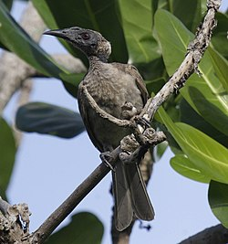 Helmeted friarbird cairns09.JPG