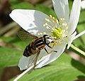 Helophilus pendulus. Syrphidae - Flickr - gailhampshire (1).jpg