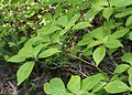 Helwingia japonica (female s3).jpg