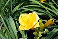 Hemerocallis Orange Gumdrops 2zz.jpg