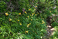 Hemerocallis dumortieri var. esculenta 06.jpg