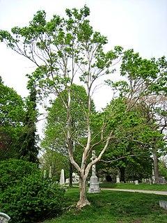 <i>Heptacodium</i> genus of plants