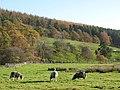 Herdwick sheep grazing on Stob Haugh (2) - geograph.org.uk - 1589011.jpg