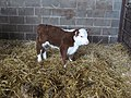 Hereford bull calf - geograph.org.uk - 300414.jpg
