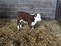 Hereford bull calf - geograph.org.uk - 300414.jpg