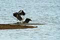 Heron Fight - Rutland Water (11368508566).jpg