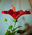 Hibiscus-4 (4081639668).jpg