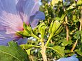 Hibiscus syriacus sl13.jpg