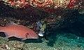 Highfin Coralgrouper (Plectropomus oligacanthus) with Harlequin Sweetlips (Plectorhinchus chaetodonoides) (6132713377).jpg