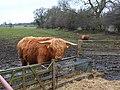 Highland Cattle, Burton Park - geograph.org.uk - 139361.jpg