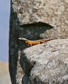 Highveld Crag Lizard (Pseudocordylus melanotus) male (31691524334).jpg