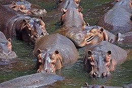 260px Hippo pod edit