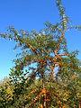Hippophaë rhamnoides fruits1.jpg