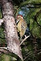 Hispaniolan Woodpecker (Melanerpes striatus) (8082777070).jpg