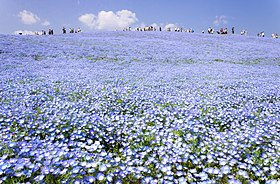 Hitachi Seaside Park 2018.jpg