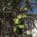 Holoptelia integrifolia 03.JPG
