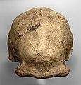 Homo erectus pekinensis (cast of skullcap) at Göteborgs Naturhistoriska Museum 8817.jpg