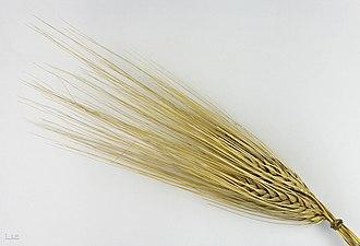 Bere (grain) - Hordeum vulgare subsp. hexastichum - MHNT