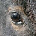HorseEye c.jpg