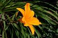 Hortus Haren. Hemerocallis 03.JPG