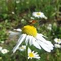 Hover fly on flower, Sandy, Bedfordshire (5925690697).jpg