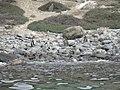 Humboldtpinguine Isla Choros.jpg