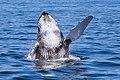 Humpback Whale (2).jpg