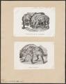 Hyaena crocuta - 1700-1880 - Print - Iconographia Zoologica - Special Collections University of Amsterdam - UBA01 IZ22200079.tif