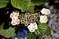Hydrangea macrophylla Angel Lace 1zz.jpg