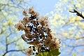 Hydrangea quercifolia 21zz.jpg