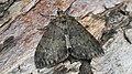 Hydriomena impluviata - May highflyer - Пяденица трёхполосая (47995983878).jpg
