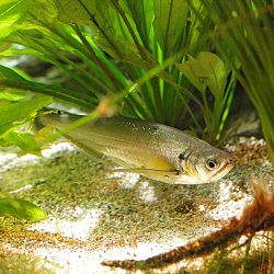 Hydrolycus scomberoides by OpenCage.jpg