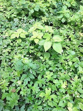 Hydrophyllum canadense SCA-0603.jpg