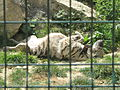 Hyena (zoo d'Attilly).jpg