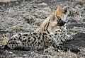 Hyenes tachetées.jpg