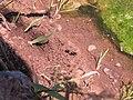 Hymenoptera Sphecidae Sceliphron mud-dauber wasp 6093.jpg