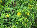 Hypericum kalmianum - Flickr - peganum (3).jpg