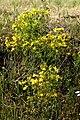 Hypericum perforatum L. (8070408369).jpg