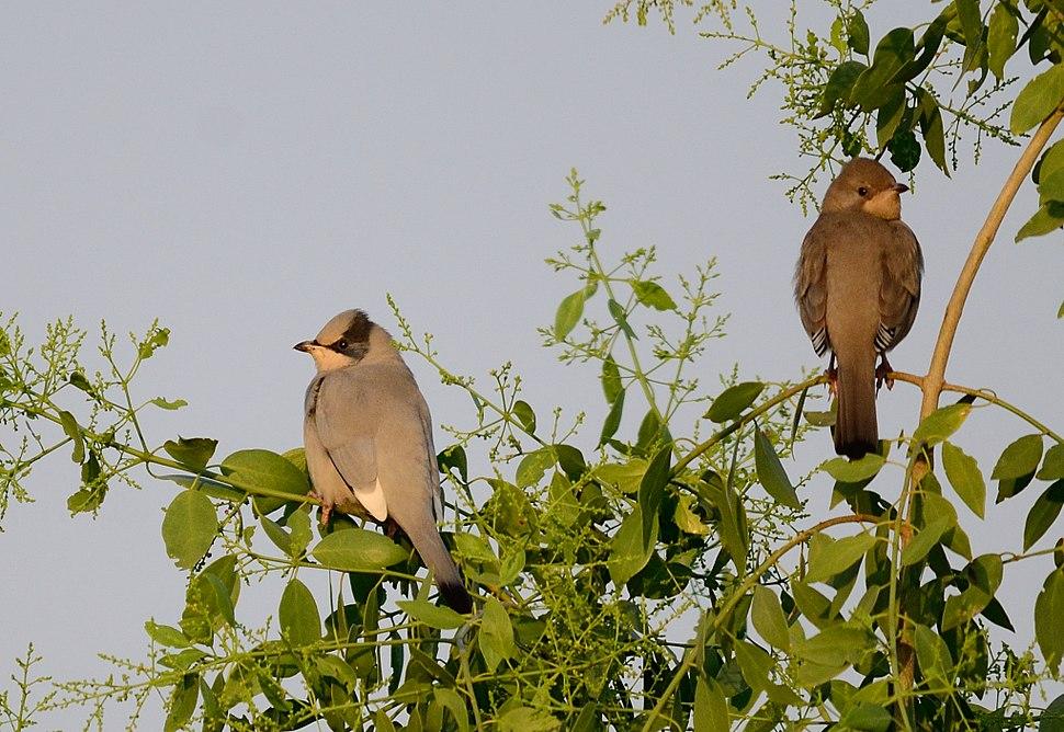 Hypocolius ampelinus pair