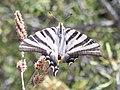 Iberian Scarce Swallowtail (Iphiclides feisthamelii) 01.jpg