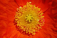 Iceland Poppy Papaver nudicaule 'Champagne Bubbles' Orange Center.jpg