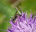 Ichneumonidae. Glypta species (38825112265).jpg