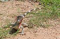Iguana from Vereda del Lago 2.jpg