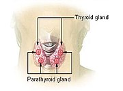 Location of the thyroid and parathyroid glands in front of the layrnx.