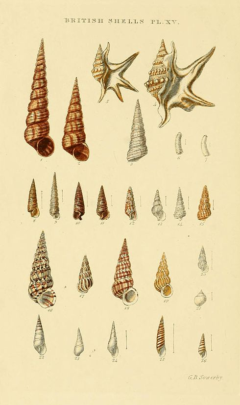 Illustrated Index of British Shells Plate 15.jpg