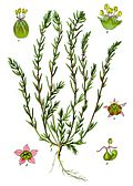 Illustration Bassia laniflora0 clean.JPG