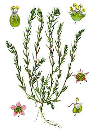 Camphorosmoideae - Bassia laniflora, illustration