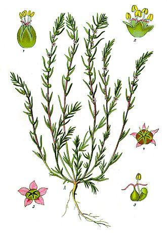 Amaranthaceae - Bassia laniflora (illustration), Camphorosmoideae